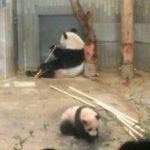パンダのシャンシャンです!