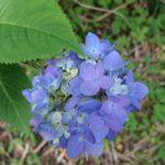 紫陽花と蛙ちゃん