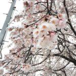 桜もびっくり